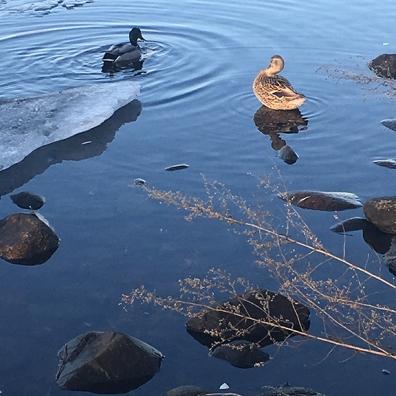 2018.02.14.ducks